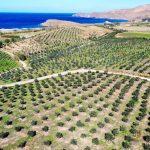 «Πράσινη» επένδυση στη Λέσβο: 40.000 ελιές μεταμόρφωσαν ερημοποιημένη γη